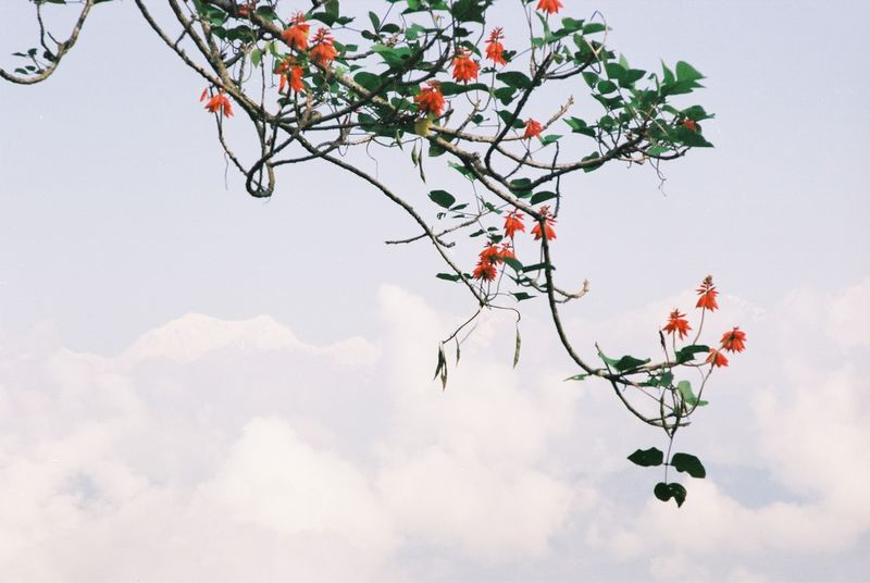 2006 10 Kaluk Pandim flower